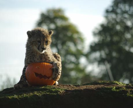 Whipsnade Zoo's Cheetah Cubs