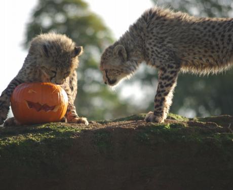 Whipsnade Zoo's Cheetah Cubs