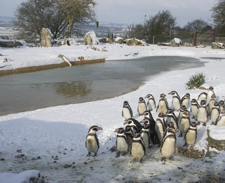 Penguins at Whipsnade