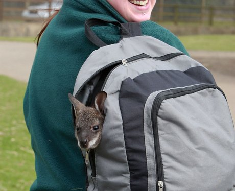 Pip the Wallaby