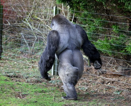 Ambam the walking gorilla