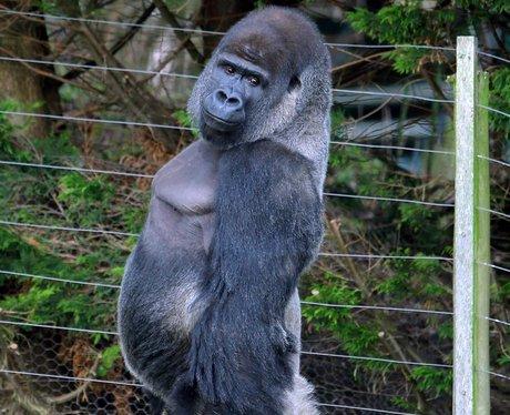Ambam the walking gorilla