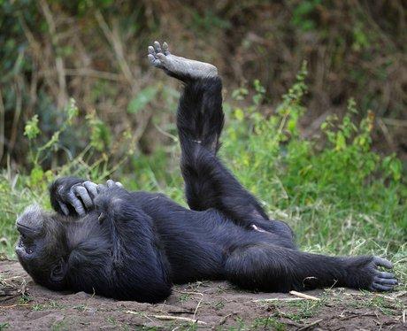 Bahati the flexible chimpanzee