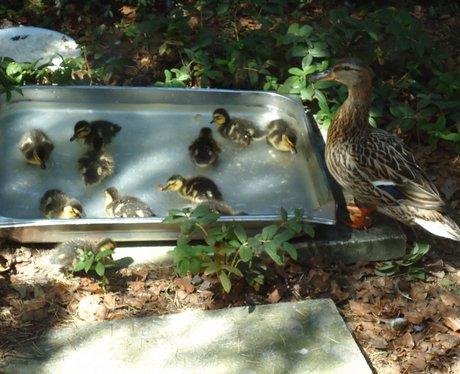 Ducks at the Maelor