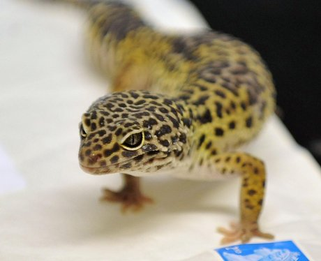 Sahara the Gecko
