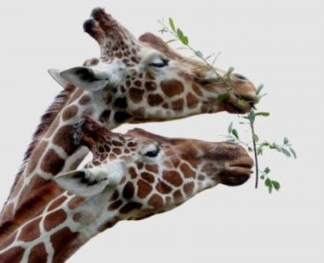 Giraffe at Whipsnade