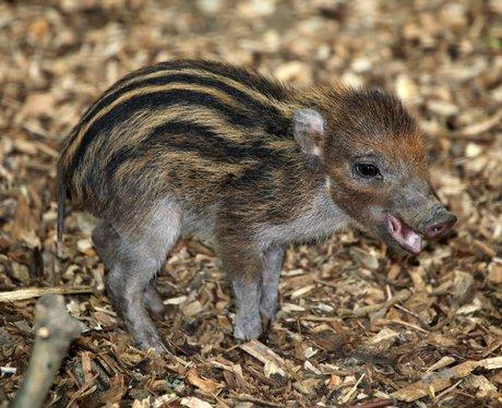 Visayan warty piglet