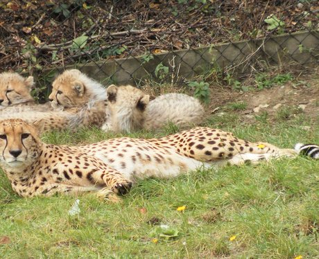 Colchester Zoo Cheetah Cubs