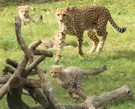 Colchester Zoo Cheetah Cubs