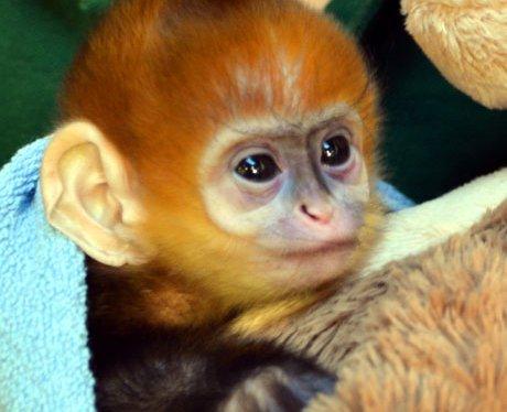 Baby monkey at London Zoo