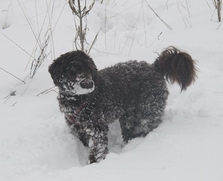 Labradoodle puppy plays in the snow