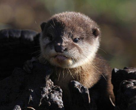 Otter pup