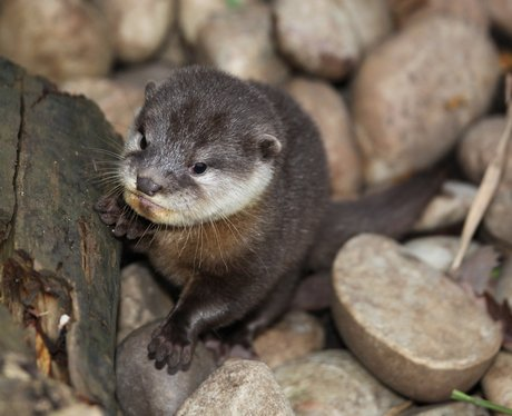 Otter pup