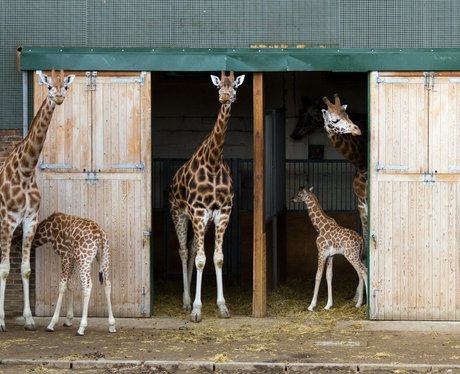Baby Giraffe at Woburn