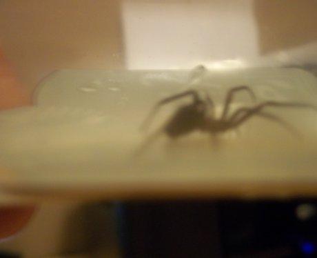 False Widow Spiders In MK