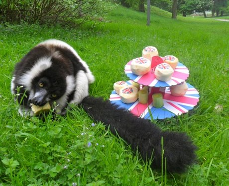 Jubilee Lemur Tea Party