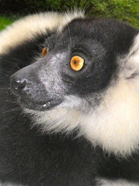 Jubilee Lemur Tea Party
