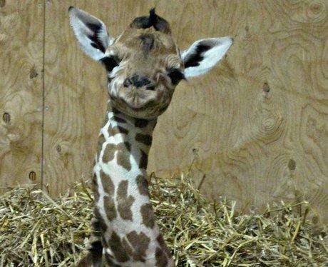 Baby giraffe at Noah's Ark Zoo Farm