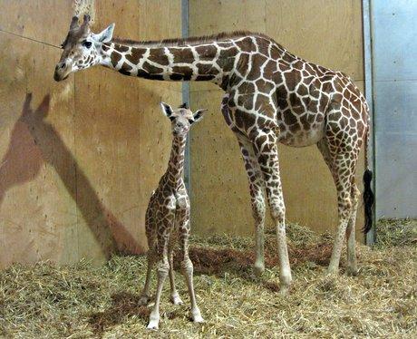 Baby giraffe and mum at Noah's Ark Zoo Farm