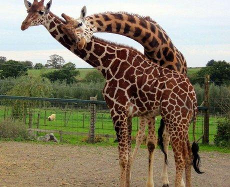 Giraffes at Noah's Ark Zoo Farm