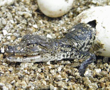 Baby Crocodiles at Cotswold Wildlife Park