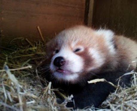 Panda Cub Cotswold 2