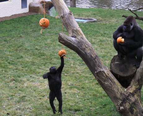 Gorilla's play with halloween pumpkins