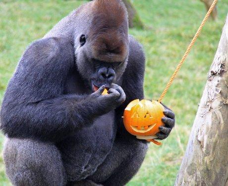 Gorilla's play with halloween pumpkins
