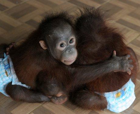 Baby orangutan orphans cuddle each other