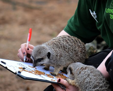 Baby meerkats at London Zoo