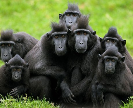Crested Macaques at Dublin Zoo