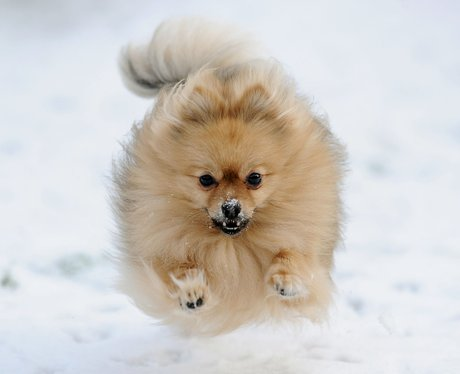 Pomeranian dog running in the snow