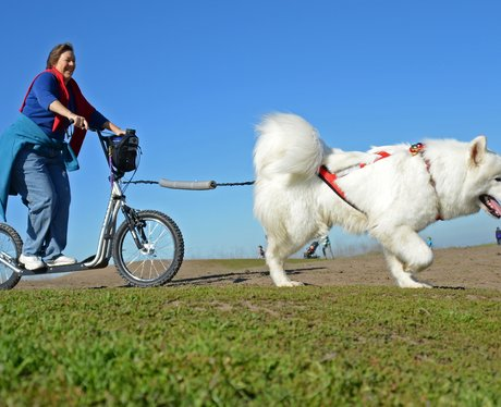 An urban musher is pulled by her Samoyed