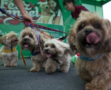 Dogs arrive at a costume contest