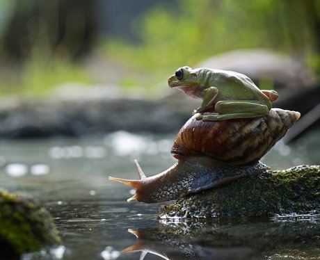 Frog sitting on a snail's back