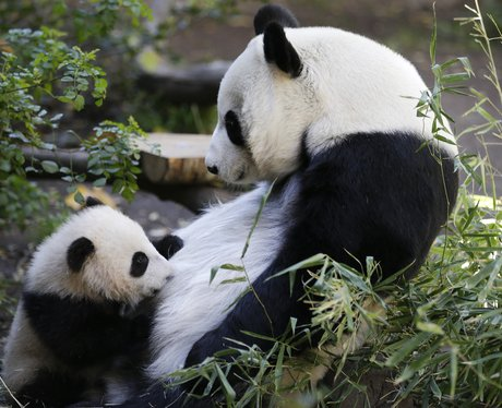 Baby panda and his mother at San Diego zoo