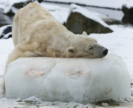 Polar bear at a zoo in the Netherlands