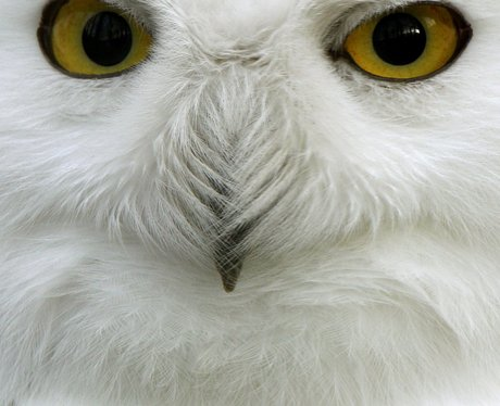 Snowy owl at a zoo in Germany