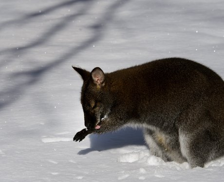 Wallaby in the snow at a zoo in Switzerland