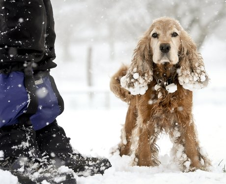 Cocker spaniel in the snow in Bristol