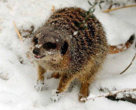 A meerkat at Twycross Zoo