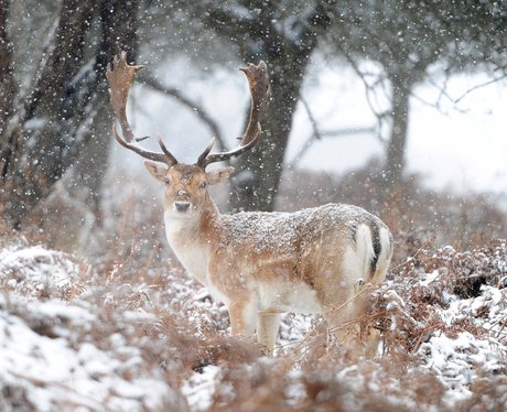 A deer in the snow, Richmond Park, London