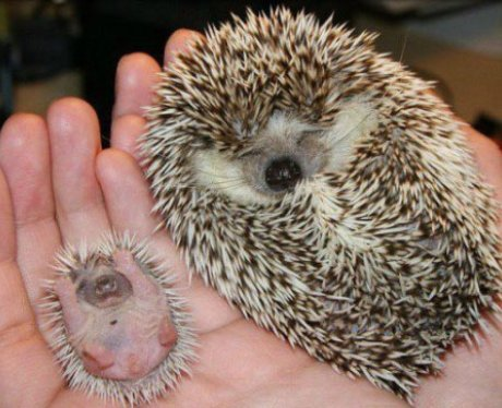 Two hedgehogs asleep