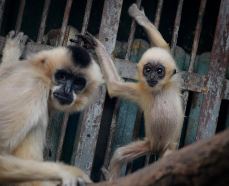 A baby Gibbon and its mother