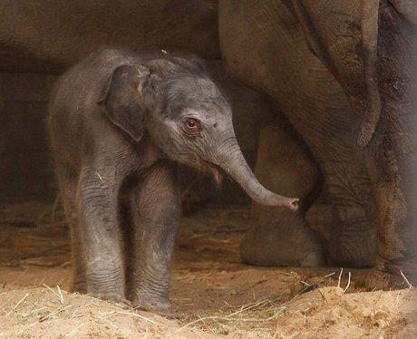 Baby elephant calf