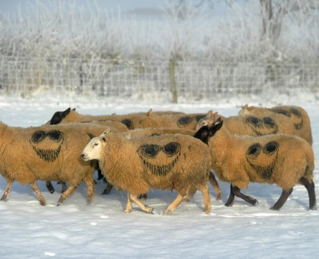 Sheep with 'The Smiler' markings