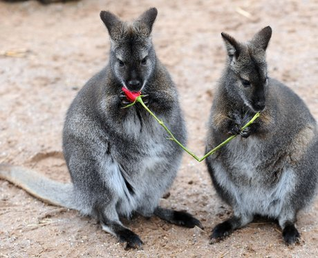 Wallabies are given roses as a Valentine's treat