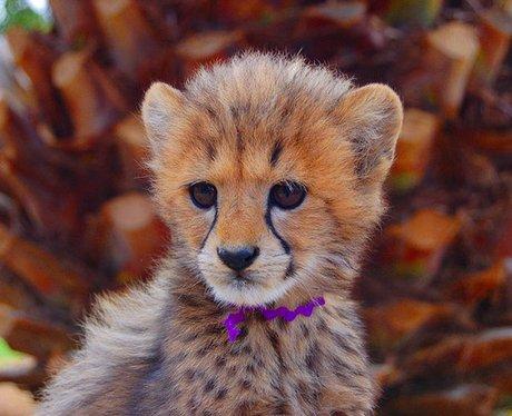 Cute babay cheetah