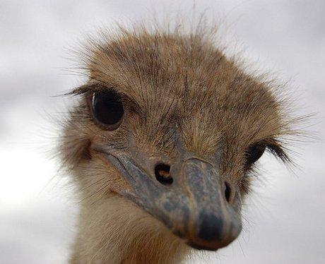 Ostrich close up cute