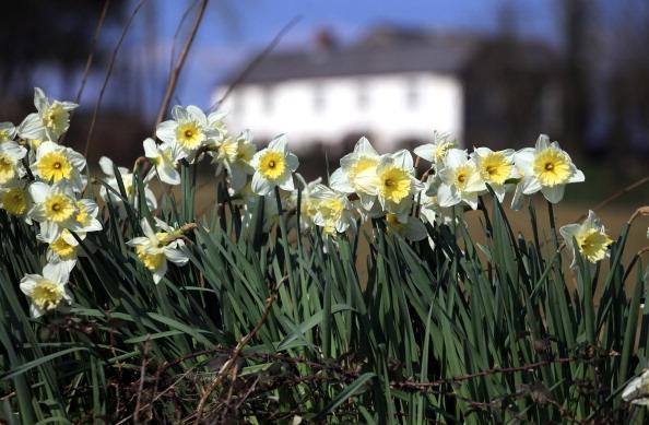 Daffodils in Cornwall